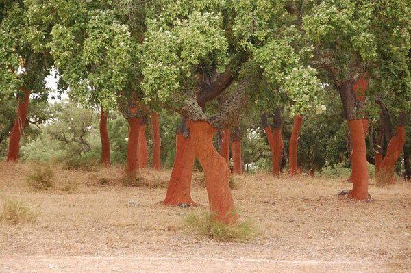 Пробковый пол из Португалии - подготовка пробки на плантациях